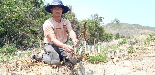 Thủy điện chặn dòng, hàng trăm héc ta hoa màu nguy cơ chết khô - 3