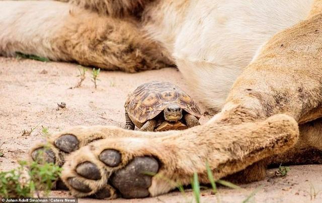 Rùa liều lĩnh bò ngang qua chân sư tử - 1