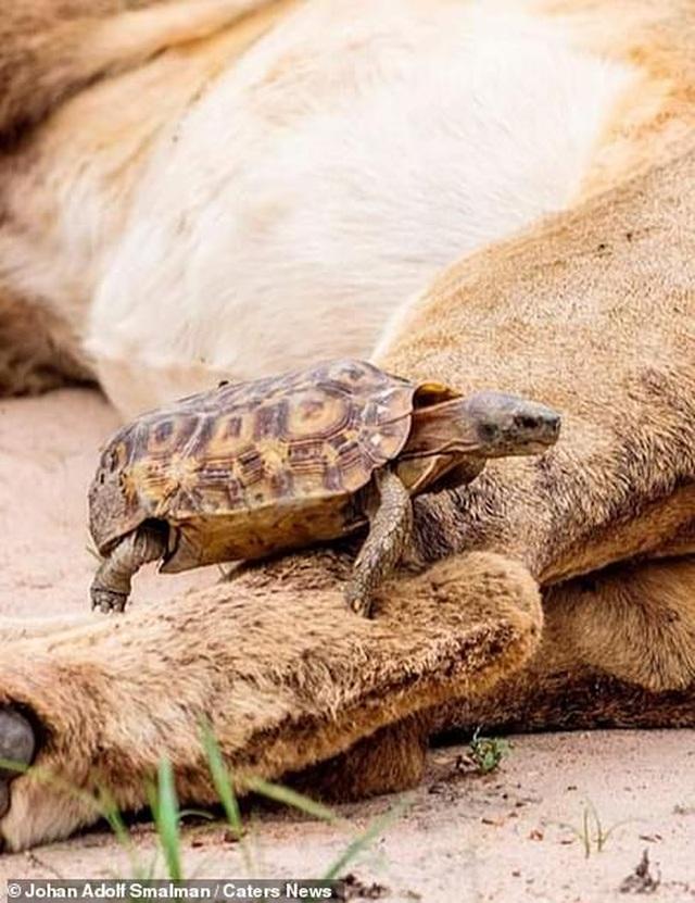 Rùa liều lĩnh bò ngang qua chân sư tử - 2