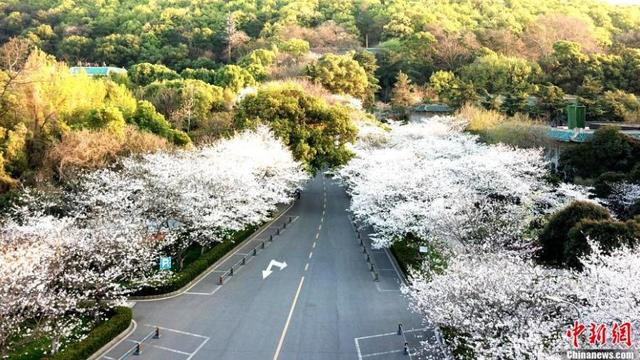 ĐH Vũ Hán quay cảnh hoa anh đào nở trong trường, thu hút 4 triệu lượt xem - 1