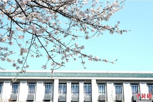 ĐH Vũ Hán quay cảnh hoa anh đào nở trong trường, thu hút 4 triệu lượt xem - 2