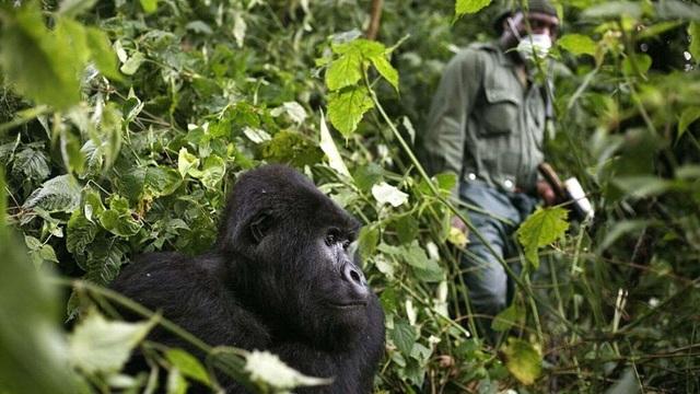 Khỉ đột núi ở châu Phi đối mặt với nguy cơ nhiễm coronavirus - 1