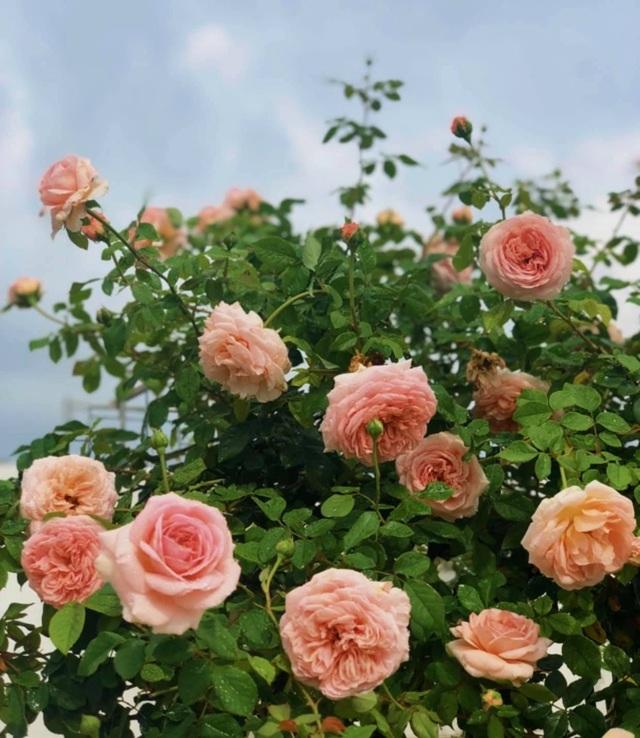Đã mắt với khu vườn sai trĩu quả, ngập hoa của gia đình MC Quyền Linh - 10