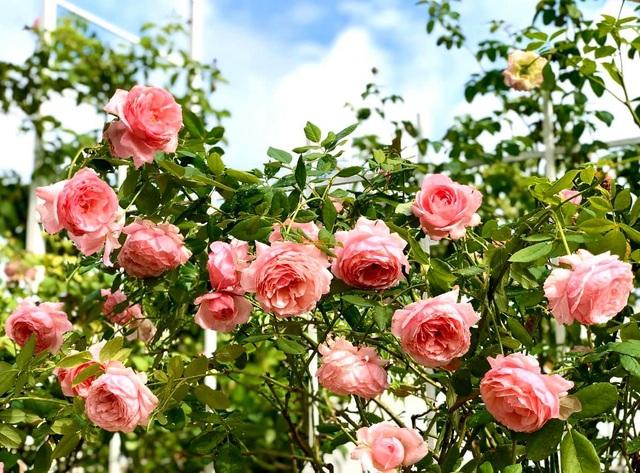 Đã mắt với khu vườn sai trĩu quả, ngập hoa của gia đình MC Quyền Linh - 12