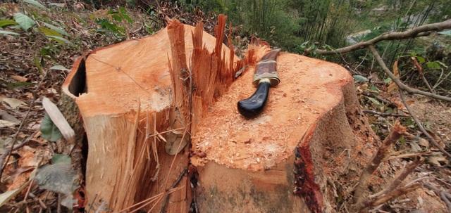 Miễn chức vụ Hạt trưởng vì để rừng liên tục bị chặt phá - 1
