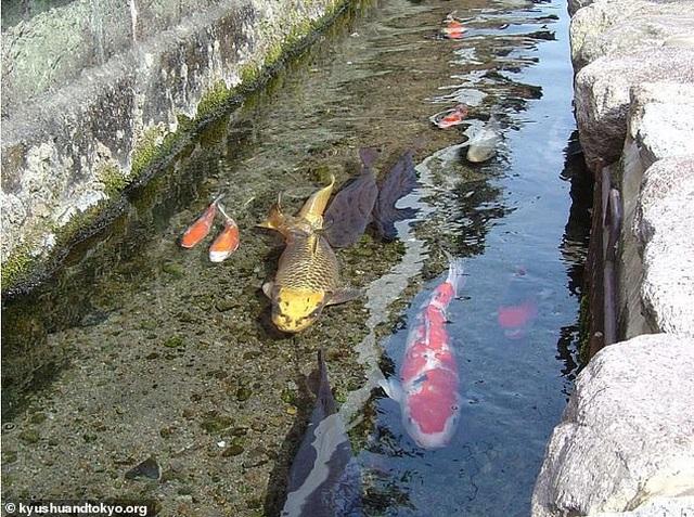Nhật Bản hút khách nhờ những đàn cá Koi bơi trong cống thoát nước - 4