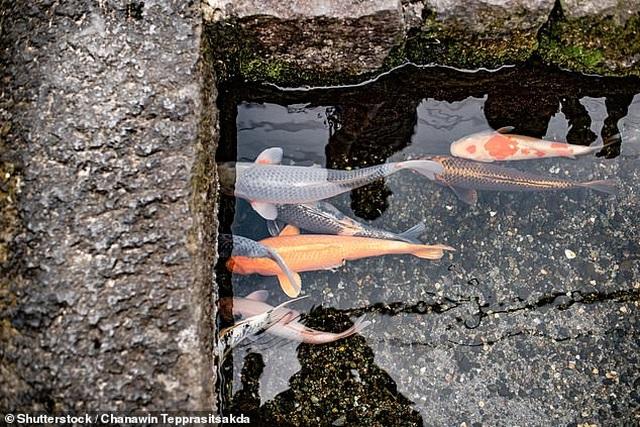 Nhật Bản hút khách nhờ những đàn cá Koi bơi trong cống thoát nước - 5