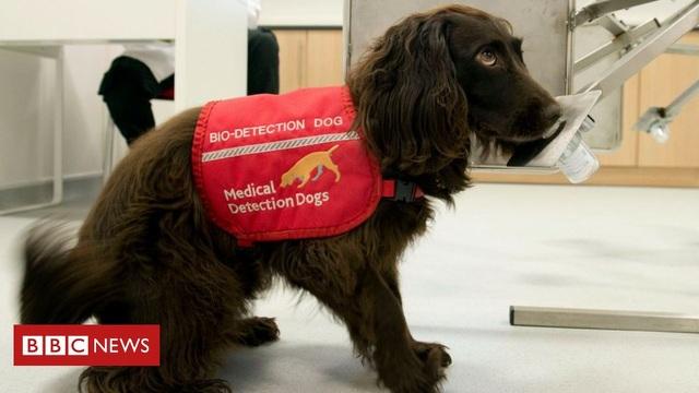 Tổ chức Anh huấn luyện chó đánh hơi ra người mắc Covid-19 - 1
