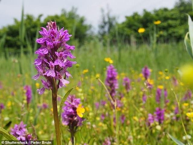 Hoa lan quý hiếm và hoa dại đang ngày càng nở rộ về phía bắc nước Anh - 1