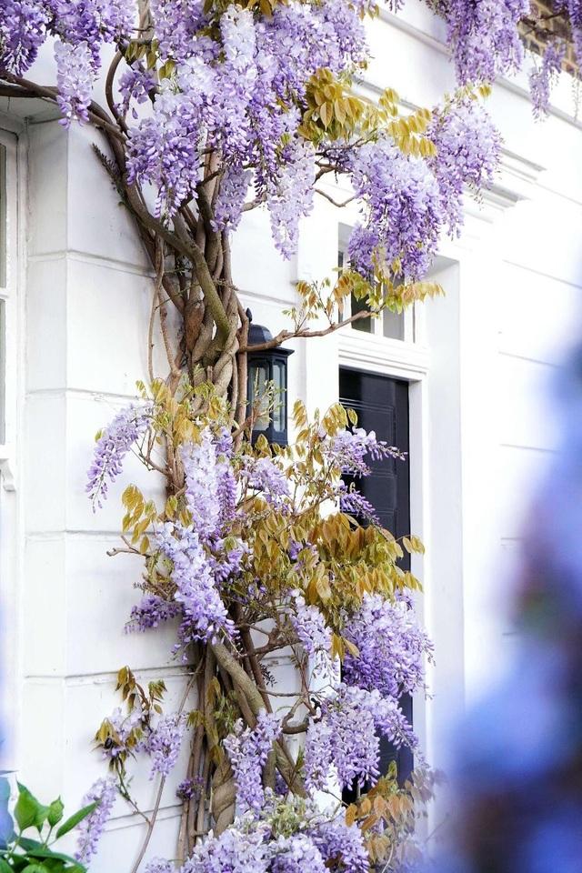 Những biệt thự phủ kín sắc tím hoa tử đằng đẹp như cổ tích ở Anh - 1