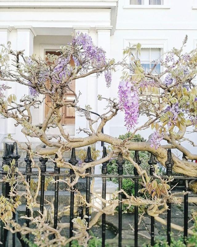 Những biệt thự phủ kín sắc tím hoa tử đằng đẹp như cổ tích ở Anh - 9