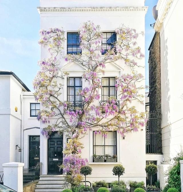Những biệt thự phủ kín sắc tím hoa tử đằng đẹp như cổ tích ở Anh - 11