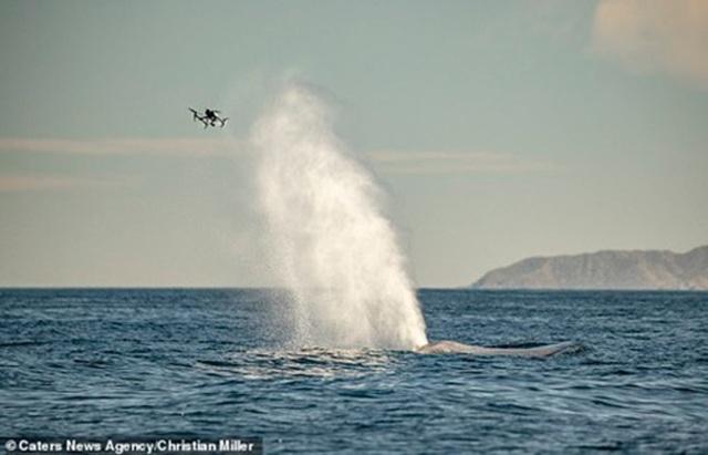 """Cá voi xanh """"hắt hơi"""" chao đảo cả máy bay không người lái - 1"""