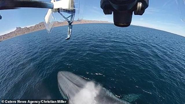 """Cá voi xanh """"hắt hơi"""" chao đảo cả máy bay không người lái - 5"""