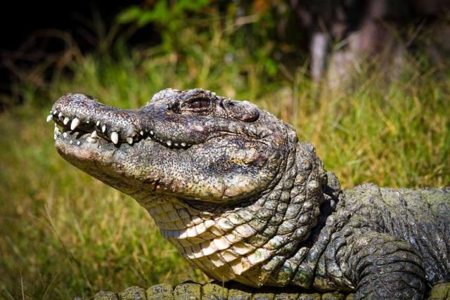 Hơn 14.000 con cá sấu tỉnh giấc sau kỳ ngủ đông - 2