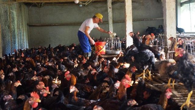 """Người chăn nuôi """"điêu đứng"""" vì giá gà thịt  giảm chưa từng có - 1"""