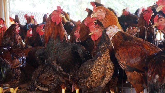 """Người chăn nuôi """"điêu đứng"""" vì giá gà thịt  giảm chưa từng có - 2"""