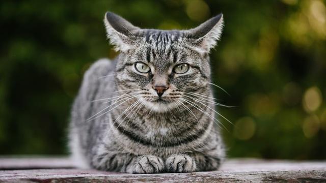 Lần đầu tiên mèo bị nhiễm Covid-19 từ chủ ở Bỉ - 1