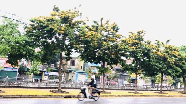 Mùa hoa Giáng Hương rực rỡ thành Vinh - 22