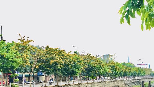 Mùa hoa Giáng Hương rực rỡ thành Vinh - 8