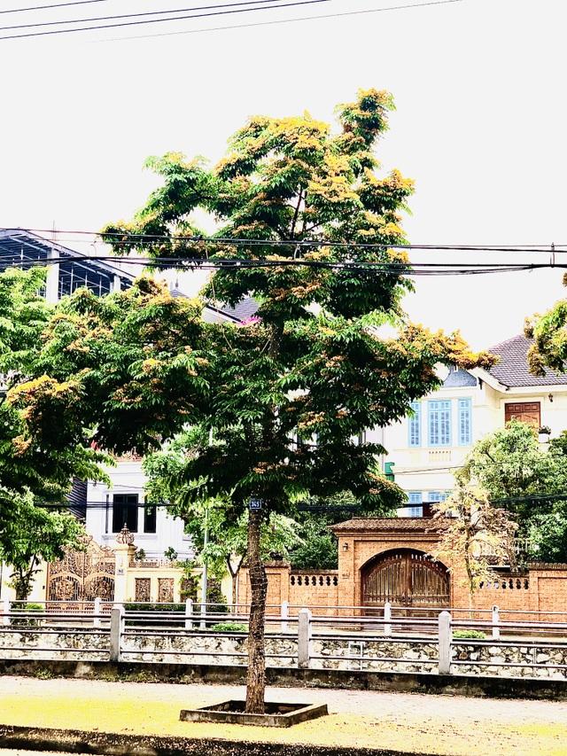 Mùa hoa Giáng Hương rực rỡ thành Vinh - 27