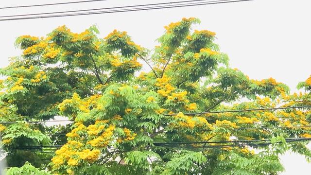 Mùa hoa Giáng Hương rực rỡ thành Vinh - 9