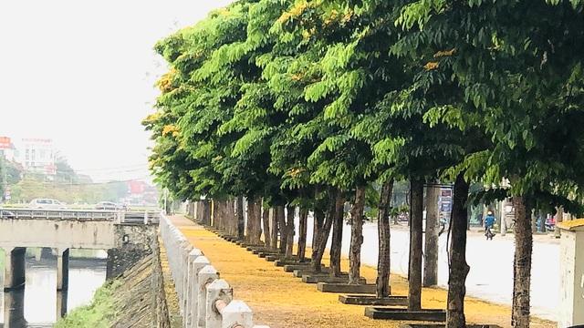 Mùa hoa Giáng Hương rực rỡ thành Vinh - 29