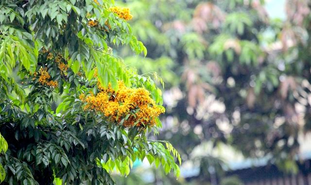 Mùa hoa Giáng Hương rực rỡ thành Vinh - 10