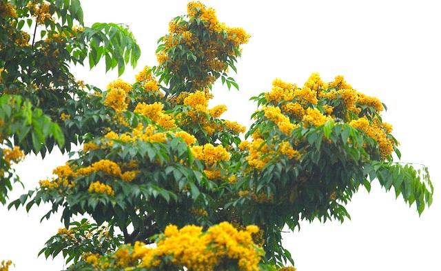Mùa hoa Giáng Hương rực rỡ thành Vinh - 19