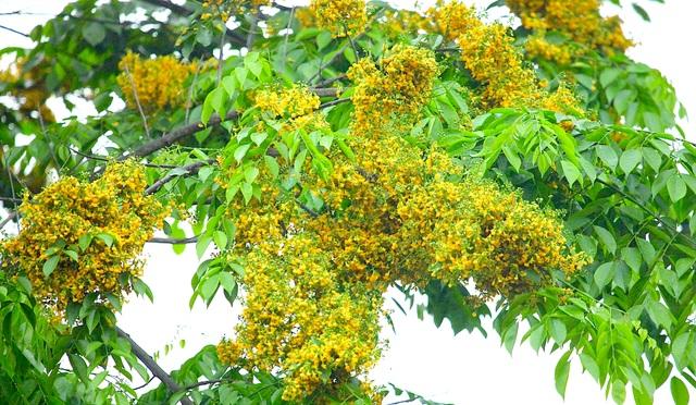 Mùa hoa Giáng Hương rực rỡ thành Vinh - 15