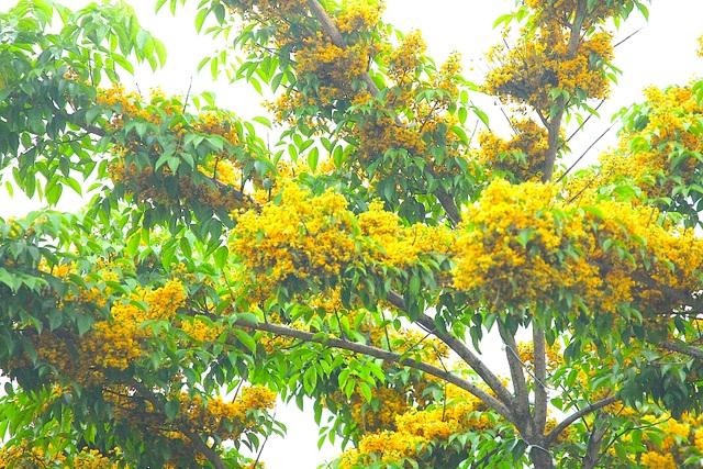 Mùa hoa Giáng Hương rực rỡ thành Vinh - 12