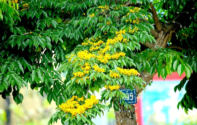 Mùa hoa Giáng Hương rực rỡ thành Vinh - 13