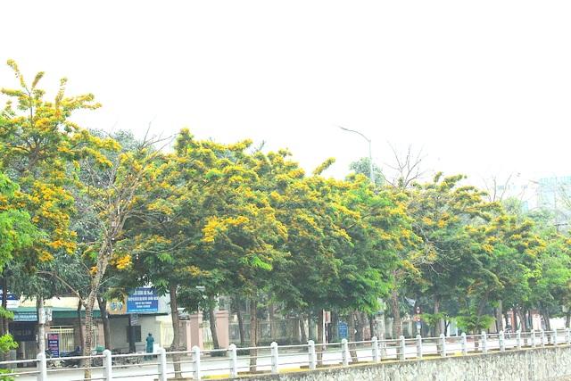Mùa hoa Giáng Hương rực rỡ thành Vinh - 30