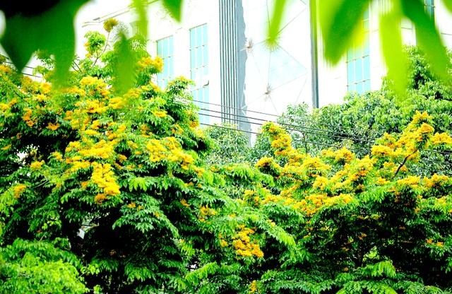 Mùa hoa Giáng Hương rực rỡ thành Vinh - 11
