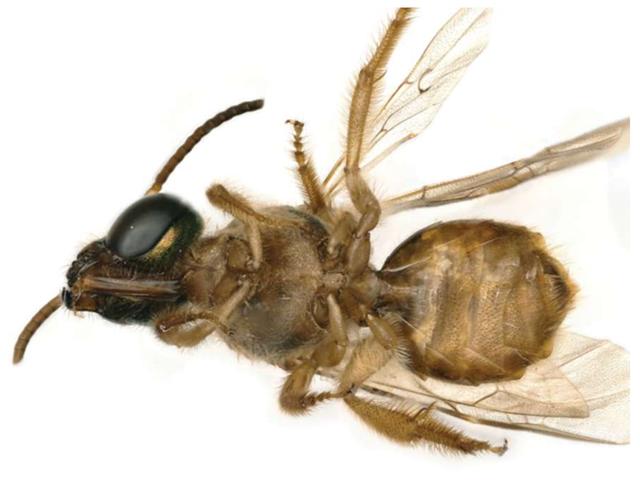 Tìm thấy loài ong nửa đực, nửa cái siêu hiếm ở Panama - 1