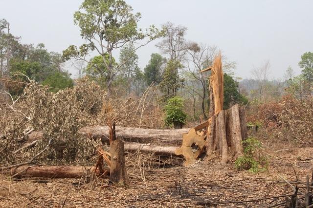 Hàng nghìn hecta rừng tại Gia Lai tan biến do đâu? - 4