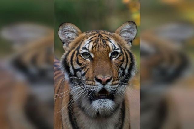 Phát hiện hổ ở sở thú Mỹ nhiễm virus SARS-CoV-2 - 1