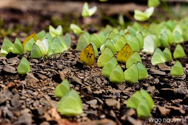 Tháng 4 Tây Nguyên rực rỡ với hàng triệu con bướm vàng - 3