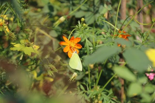 Tháng 4 Tây Nguyên rực rỡ với hàng triệu con bướm vàng - 5