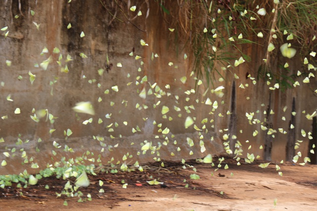 Tháng 4 Tây Nguyên rực rỡ với hàng triệu con bướm vàng - 9