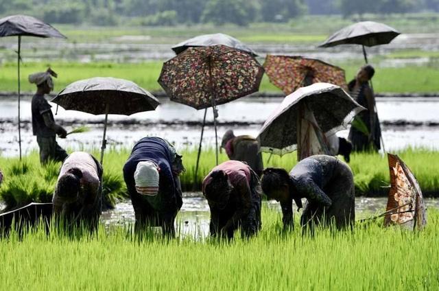 Toàn cầu mua gom tích trữ, giá gạo vọt lên cao nhất 7 năm - 2