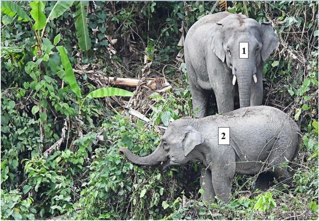 Quảng Nam lần đầu ghi nhận cá thể voi con khoảng 1 tuổi - 2