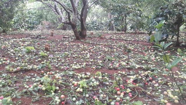 Mưa đá to bằng ngón chân cái, mận đang thu hoạch ở Sơn La rụng kín vườn - 2