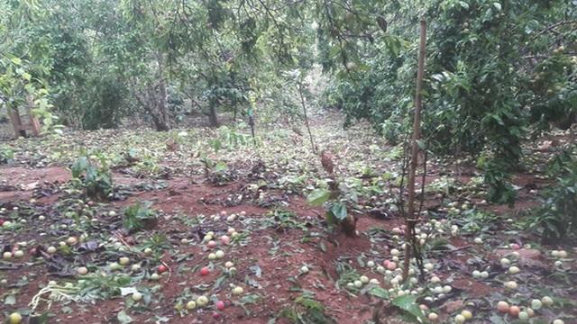 Mưa đá to bằng ngón chân cái, mận đang thu hoạch ở Sơn La rụng kín vườn - 1