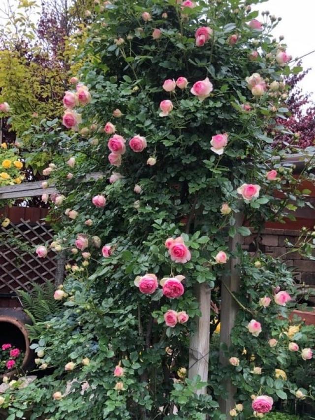 Ngôi nhà phủ kín hoa hồng đẹp không rời mắt của nữ Việt kiều ở Hungary - 7