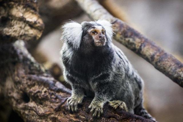Loài khỉ cổ đại đã biết dùng bè vượt Đại Tây Dương hàng triệu năm trước - 1