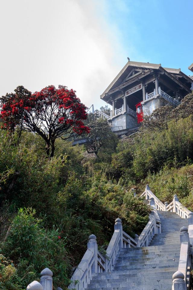 Ngắm những cây đỗ quyên trăm tuổi bung nở rực rỡ trên đỉnh Fansipan - 8