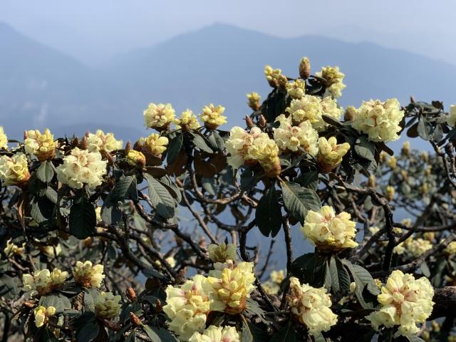 Ngắm những cây đỗ quyên trăm tuổi bung nở rực rỡ trên đỉnh Fansipan - 5
