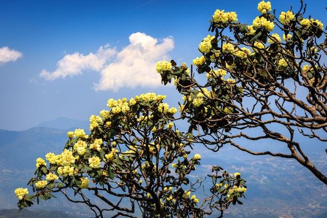 Ngắm những cây đỗ quyên trăm tuổi bung nở rực rỡ trên đỉnh Fansipan - 4