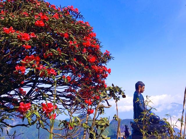 Ngắm những cây đỗ quyên trăm tuổi bung nở rực rỡ trên đỉnh Fansipan - 6